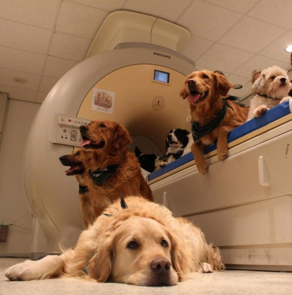 Dogs wait their turn in the fMRI scanner. Photo by Eötvös Loránd University/Enik? Kubinyi