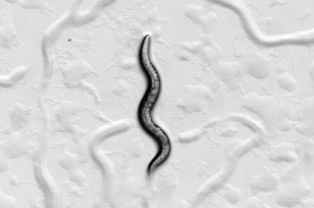 Roundworms can be trained to associate certain tastes and smells with starvation. But learning a new association in the presence of an old cue is prevented by memory blocking. Photo by University of Toronto