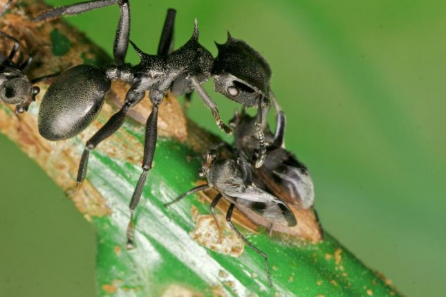 Turtle ants get enough nutrients from symbiotic gut bacteria, allowing them to avoid the competition for high-quality food sources. Photo by Jon Sanders/Drexel University