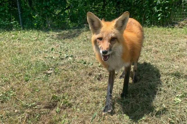 A red fox named Todd escaped from his enclosure at the Toronto Zoo in mid-September and officials are now asking members of the public to report fox sightings to the facility in the hopes of locating the fugitive animal. Photo courtesy of the Toronto Zoo/Facebook