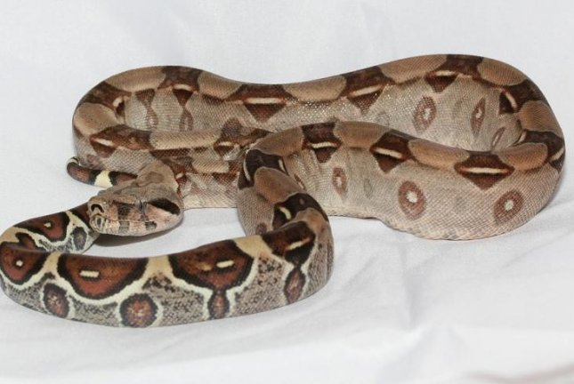 Authorities in South Carolina said a thief at a pet store shoved a red-tail boa constrictor into his pants. Photo by sipa/Pixabay.com