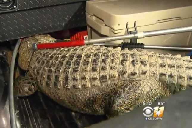 The alligator caught early Wednesday outside a Dallas middle school. Screenshot: CBS Dallas-Fort Worth
