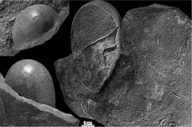 Researchers have discovered a series of dinosaur eggs with a unique characteristic: they are oval in shape. The discovery supports the theory that birds and non-avian theropods, dinosaurs from the Cretaceous Period, could have a common ancestor. Credit: Universitat Autonoma de Barcelona)
