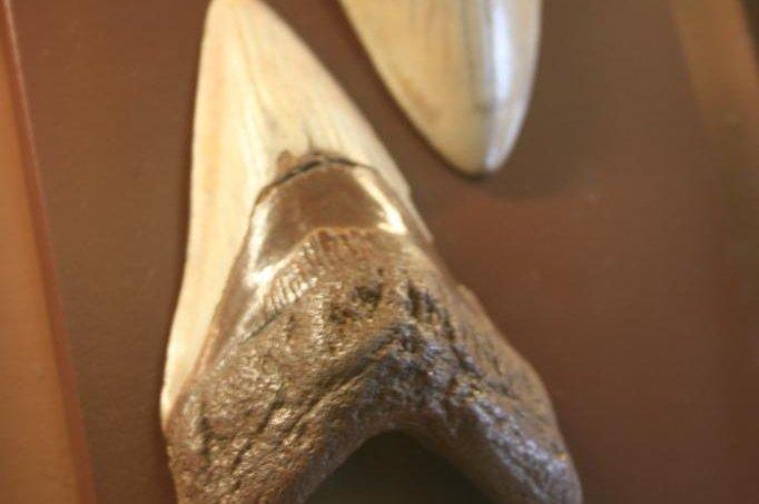 Enormous fossilized shark teeth found in North Carolina