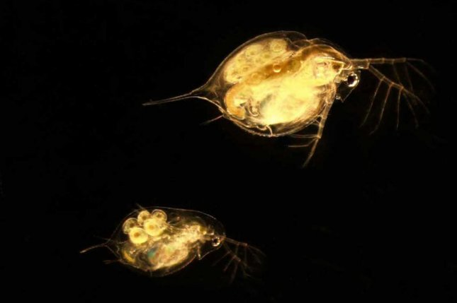 The adult female on the top right is an invasive species from Africa. Daphnia lumholtzi has become increasingly prevalent in the lakes of the Midwest. Daphnia dentifera is a native water flea species found throughout North America. Photo by A. Oleksy/University of Michigan