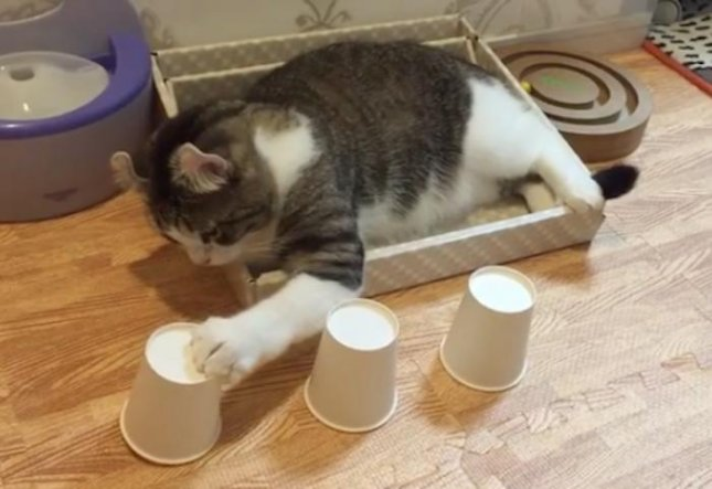 A clever cat has developed the ability to regularly identify the location of a plastic ball underneath several cups that have been shuffled.  Screen capture/curlysnow0915/Instagram