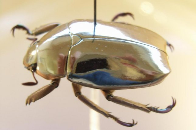 The jewel scarab beetle's unique ability to reflect polarized light gives the insect its golden sheen. Photo by Notafly/Wikimedia