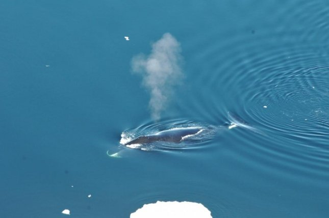 Bowhead Whales Are The 'Musicians' Of The Greenland Underwaters
