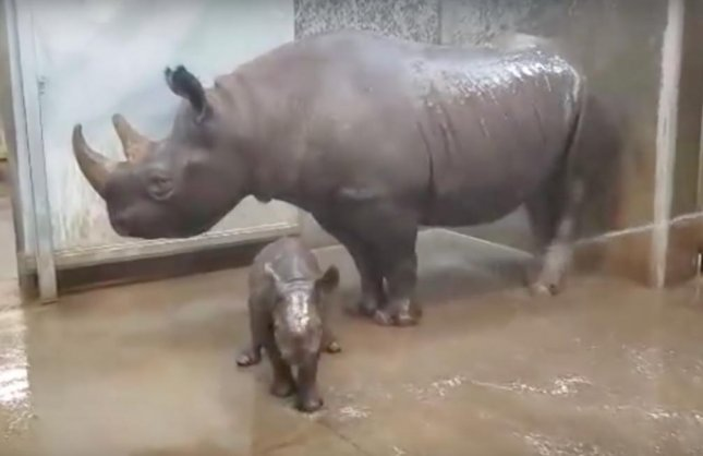 A rare eastern black rhino calf at Blank Park Zoo in Iowa was accompanied by its mother while having its first bath. The 80-pound female was born at the zoo on Oct. 11.  Screen capture/Blank Park Zoo/YouTube