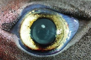 The eye of a lantern shark, one of 50 bioluminescent sharks. (FNRS/UCL)