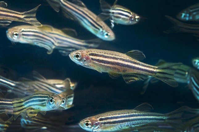 For zebrafish mates, reproductive success requires the right combination or personalities. Photo by Oregon State University/Flickr