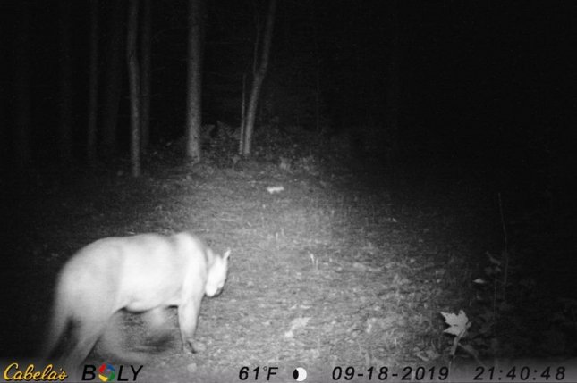 A pair of trail cameras in Michigan's Upper Peninsula recently captured images of a cougar -- or possibly two different cougars -- about 900 miles from the nearest breeding population of the animals. Photo courtesy of the Michigan Department of Natural Resources