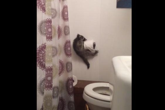 A raccoon clings to the toilet paper holder after falling through the bathroom ceiling. Screenshot: Storyful