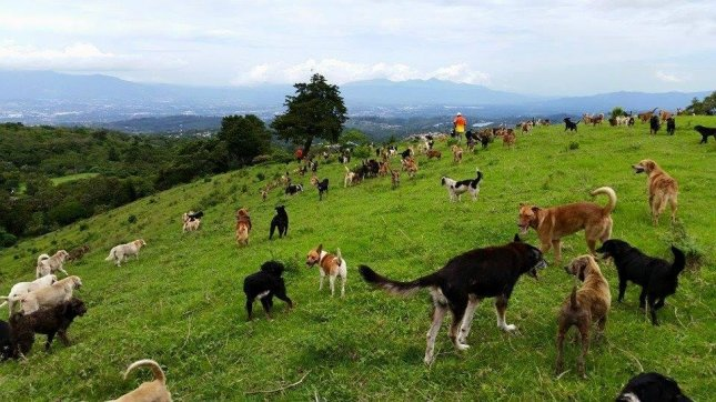 Territorio de Zaguates dog rescue ranch in Costa Rica provides a free range environment for its over 900 rescue animals to run around. 
