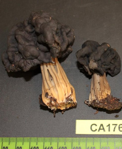 The newest identified mushroom species on Berkeley's campus, Helvella dryophila. (UC Berkeley/Vellinga/Nguyen)