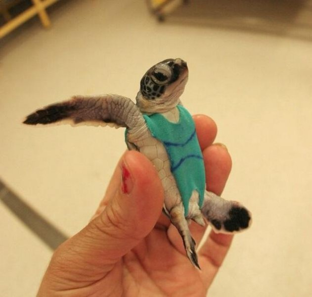 Owen Coffee, a Ph.D. student at the University of Queensland, designed special sea turtle swimsuits to help him collect fecal samples for his research. Photo courtesy University of Queensland