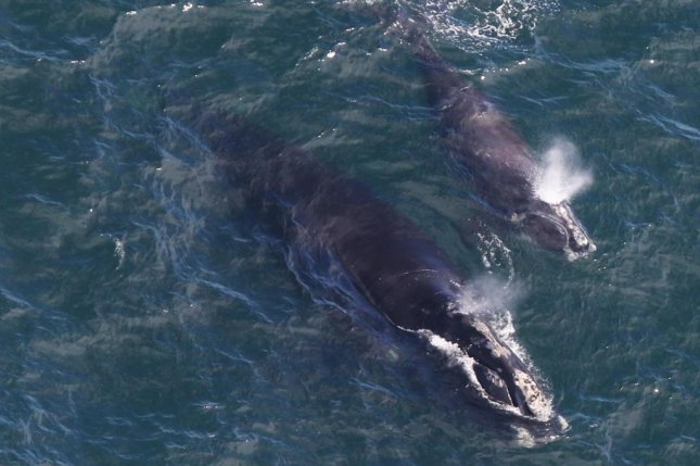 A North Atlantic right whale mom swims alongside her calf off the coast of Cape Cod, Massachusetts. Photo by Center for Coastal Studes