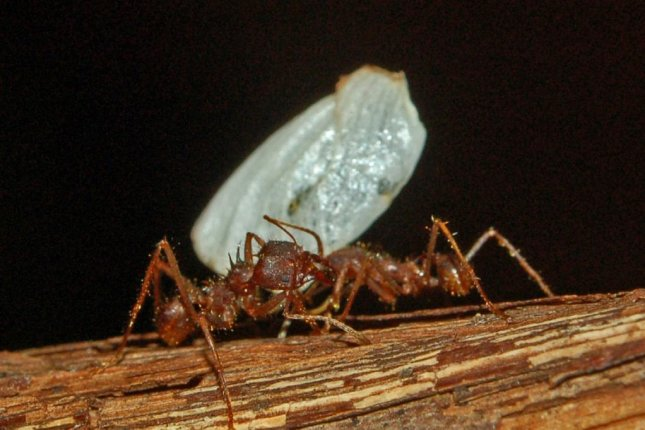 Fungus-growing ants, found throughout the Americas, may prove to be a source of medically useful compounds, researchers say. Photo byHectonichus/Wikimedia