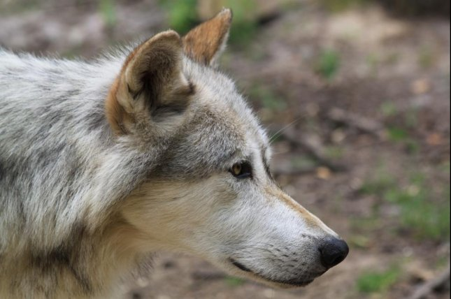 A European gray wolf, known by its Latin name of Canis lupus lupus. Photo my Mariofan13/CC/Wikimedia Commons