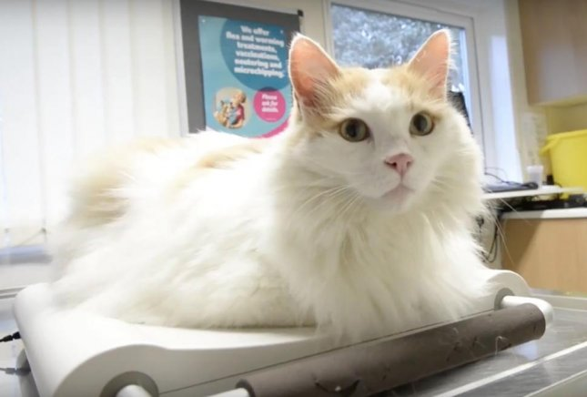 An overweight UK cat is competing with 12 other animals in the PDSA's Pet Fit Club competition. The cat named Puff has weighed as much as 17 pounds and her owner Marie Clair claims she has been known to sneak food from the fish bowl.  Screen capture/PDSA/YouTube