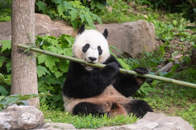 Bei Bei the giant panda will travel from the Smithsonian National Zoo in Washington, D.C., to China on Tuesday as part of a conservation project. Photo courtesy Smithsonian National Zoo