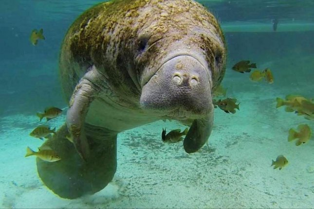 The U.S. Fish and Wildlife Service on Thursday announced it will propose removing the West Indian Manatee from the federal Endangered Species Act as endangered and reclassify it as threatened. The animal's population, half of which are located in the waters off Florida, has recovered substantially over the last 25 years, officials said. Photo by U.S. Fish and Wildlife Service/S. Whitcraft