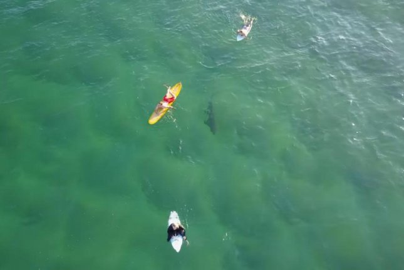 A shark swims under oblivious surfers in Australia. Screenshot: Storyful