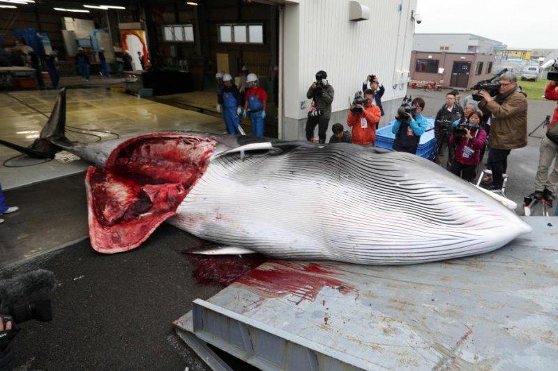 A minke whale is brought into a slaughterhouse in Kushiro, Japanese northern island of Hokkaido on Monday. Photo by Jiji Press/EPA-EFE