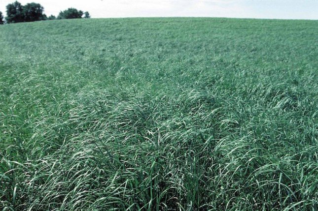 New research suggests that when biofuel feedstock crops, such as switchgrass, are grown on former agricultural land, they can aid the fight against greenhouse gas emissions. Photo by NRCS/USDA