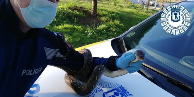 Police in Madrid said an officer captured a boa constrictor spotted slithering loose through a neighborhood after escaping its owner's home through a window. Photo courtesy of the Municipal Police of Madrid