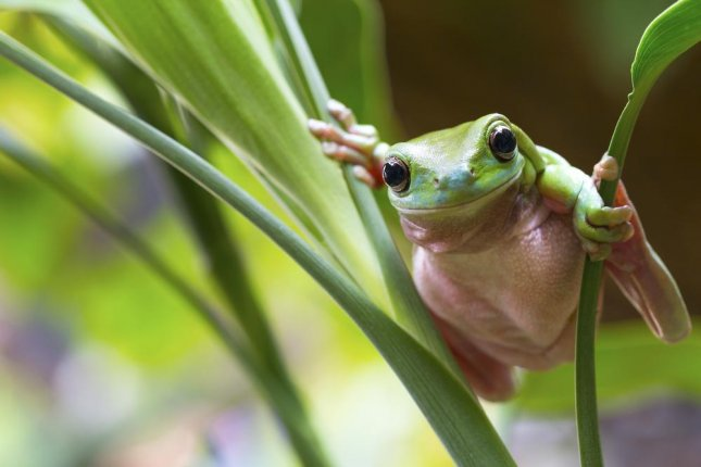 A green tree frog in Australia was air-lifted nearly 800 miles to receive medical treatment after a woman accidentally ran over it with her lawnmower. Felicia Morgan coordinated to have the frog flown from Mount Isa to Cairns after her aunt Min Tims called her, devastated by the accident. Deborah Pergolotti, president of Frog Safe frog hospital in Cairns said the frog was fortunate the two women had the initiative to seek care for the animal and said it was recovering well.  Photo by Andrew Lam/Shutterstock