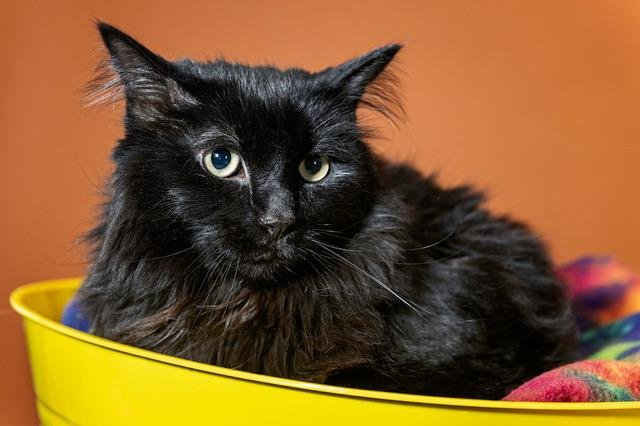 A black cat named Sasha is being reunited with an Oregon family after being found in Santa Fe five years after the feline disappeared. Photo courtesy of the Santa Fe Animal Shelter