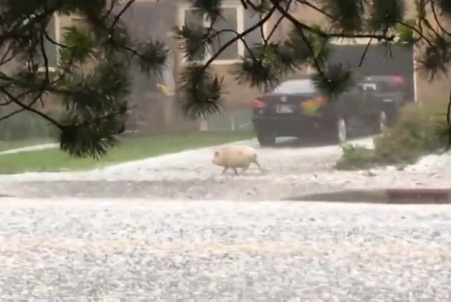 Hamlet the mini pig takes a run in a hailstorm after escaping from his crate. Screenshot: Storyful