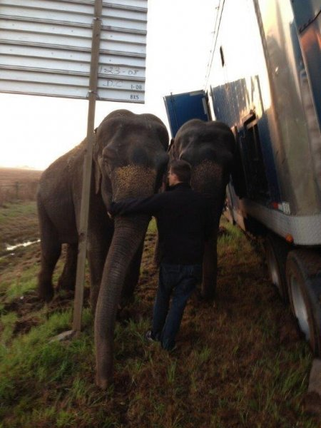 Two elephants keep the tractor-trailer from overturning on Interstate 49 in Louisiana. Photo courtesy Natchitoches Parish Sheriff's Office