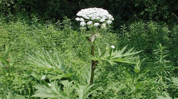Giant hogweed. (Invasive.org)