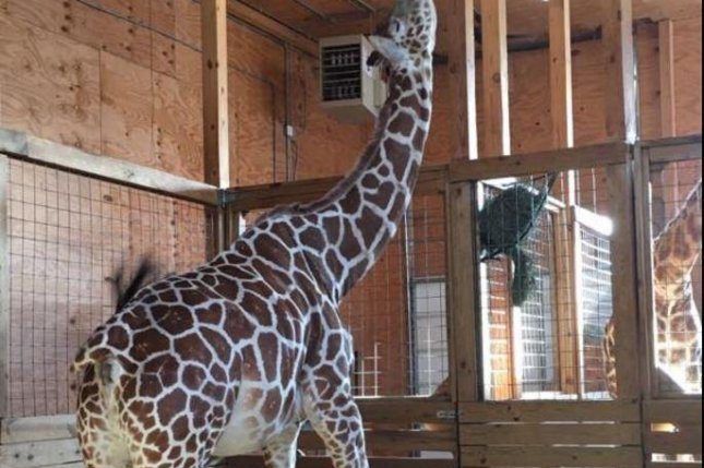 April the giraffe is between 15 and 16 months pregnant and the average gestation period is around that time. Photo courtesy Animal Adventure/Facebook