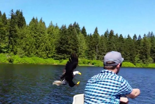 An eagle swoops down to steal a fisherman's catch on Maple Lake in British Columbia. Screenshot: Storyful