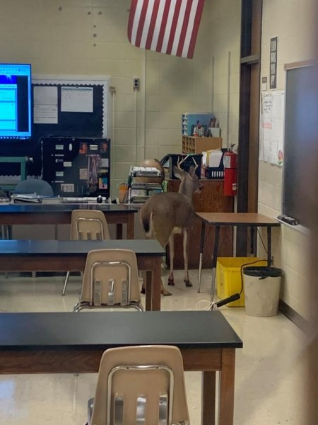 Police and Animal Care and Control personnel were summoned to Blackhawk Middle School in Fort Wayne, Ind., when a deer crashed through a window into a classroom. Photo courtesy of Fort Wayne Community Schools