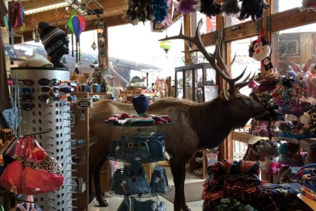 A bull elk on the run from the law hides from the police in a Colorado gift shop. Screenshot: pratiq/YouTube
