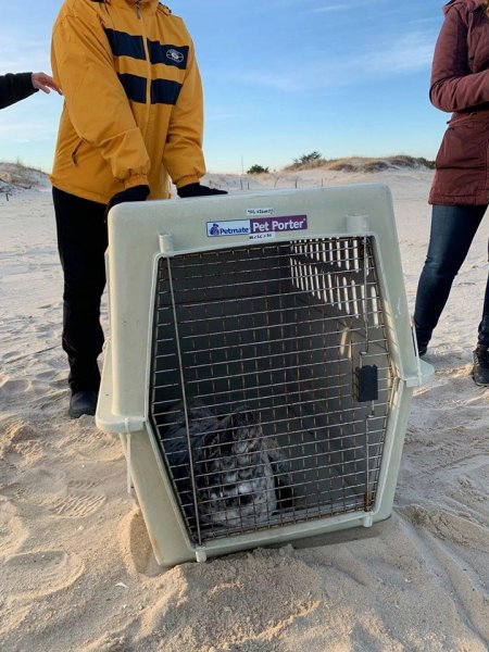 A stranded baby seal was rescued from a Delaware beach. Photo courtesy of the MERR Institute