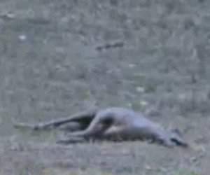 An image of the alleged Chupacbra shot by Carter Pope in La Salle, Texas. Source: KPRC-TV