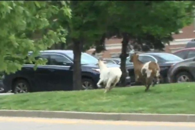 Two of the goats that escaped Saturday from the Running of the Goats in Covington, Ky. Screenshot: WCPO-TV