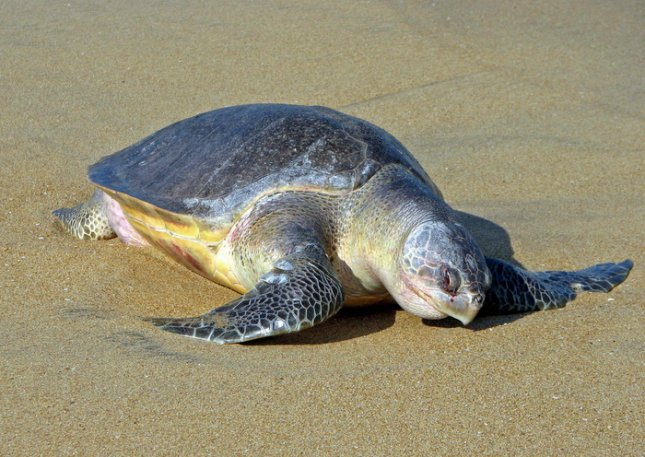Olive ridley sea turtle. Credit: Bernard Gagnon, Wikipedia, Creative Commons