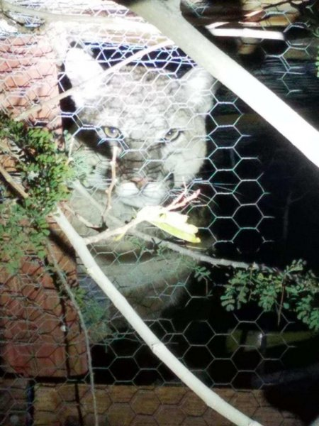 A California sheriff's deputy snapped this photo of a mountain lion that temporarily trapped itself in a homeowner's chicken coop. Photo courtesy of the San Bernardino County Sheriff's Office