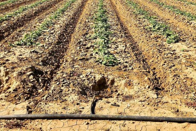 Melon fields show dry conditions in Fresno County, Calif., where drought has taken hold. Photo courtesy of Del Bosque Farms