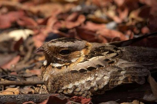 Nightjars stay atop their eggs when predators come; their ground-matching feathers help them remain unseen and uneaten. Photo by Jolyon Troscianko