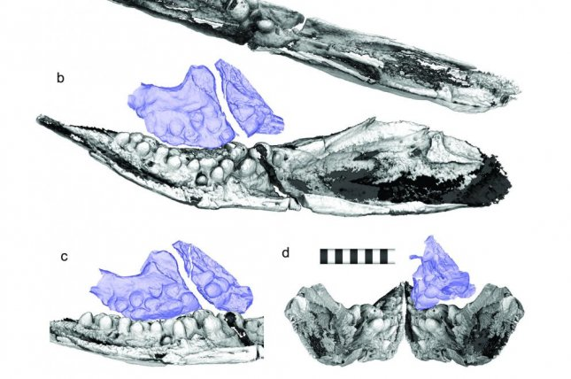 CT scans revealed small, pebble-like teeth in the jaws of the first known ichthyosaur species. Photo by Ryosuke Motani et al./Scientific Reports