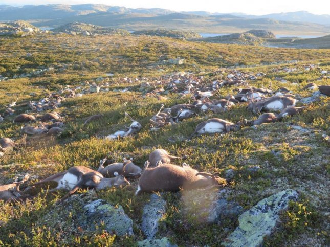 A suspected lightning strike killed 323 reindeer in Norway's Hardangervidda region. Photo courtesy of Norwegian Nature inspectorate/Twitter