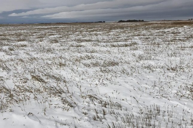 Like many wheat fields in the upper Midwest, this snow-covered crop in North Dakota could not be harvested. Photo courtesy of Paul Overby
