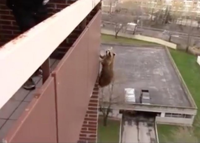 Animal control officers at Skedaddle Humane Wildlife Control were surprised when a raccoon escaped capture by climbing down from a 10th floor apartment building. President and CEO, Bill Dowd, who responded to the scene said the incident was the first he had ever seen involving a raccoon that high. 